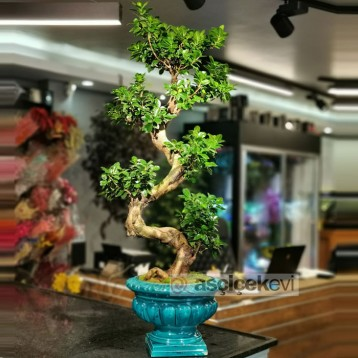 Antik Saksı Ginseng Bonsai