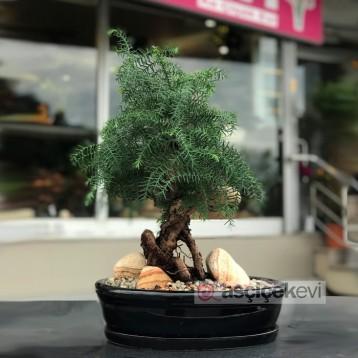 Araucaria Cunninghamii Bonsai