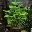 Araucaria Çam Ağacı