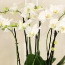 6 Dallı Beyaz Orkide