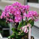 Özel Fuşya Orkide