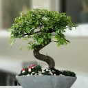 Küçük Zelkova Bonsai