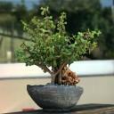 Crassula Yeşim Ağacı Bonsai
