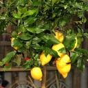 Limon Ağacı