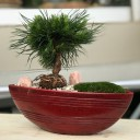 Mugo Çam Bonsai