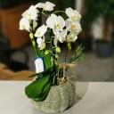 Formidablo Orkide
