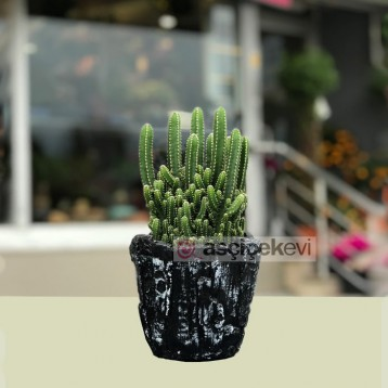 Cereus Florida Kaktüs