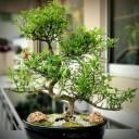 Piperutum Bonsai