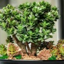 Crassula Ovata Crosby