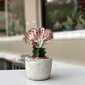 Euphorbia Lactea Kaktüs