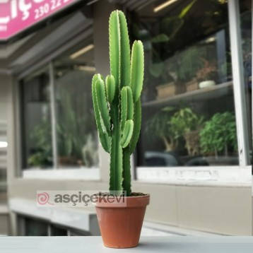 Euphorbia İngens Kaktüs