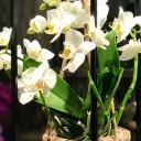 Sehpada Askılı Orkide