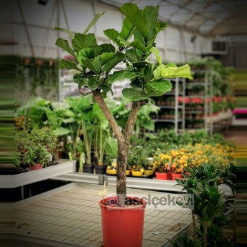 Ficus Lyrata Ağacı