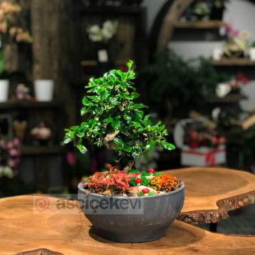 Bonsai ve Phitonia
