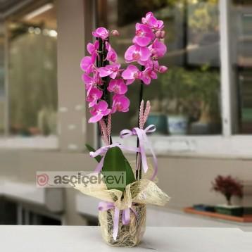 2 Dallı Fuşya Orkide