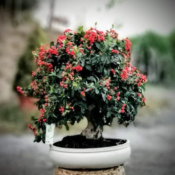 Ateş Dikeni Bonsai