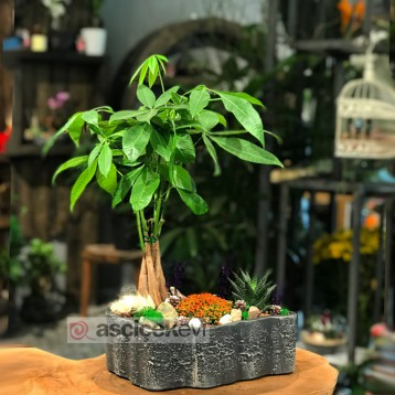 Pachira Bonsai ve Nertera