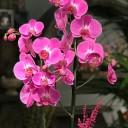 Kitapta Fuşya Orkide