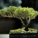Ardıç Bonsai - Juniperus