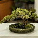 Cascade Juniperus Bonsai