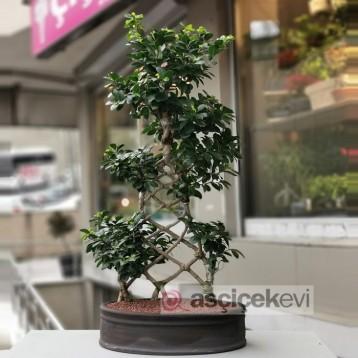 Örgü Gövde Ginseng Bonsai