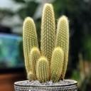 Espostoa Guentheri cactus