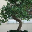 Kayadaki Bonsai