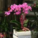 Kitapta Midi Orkide