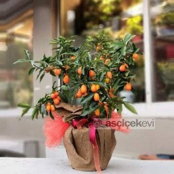 Kumquat - Kamkat Ağacı