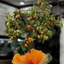 Kamkat - Kumquat Ağacı