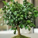 Limon Bonsai