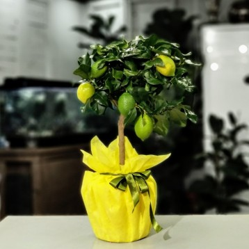 Lisa Limon Ağacı