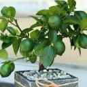 Misket Limonu Bonsai