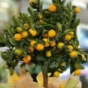 Minyatür Mandalina Ağacı