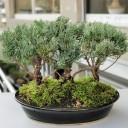 Juniperus Squmata Blue Bonsai