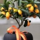 Küçük Kumkuat - Kamkat Ağacı