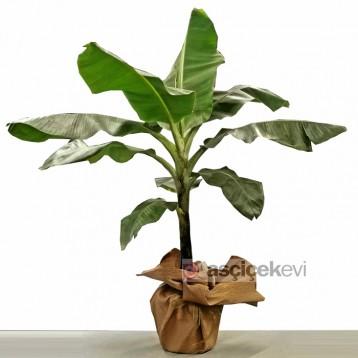 Cüce Muz Ağacı