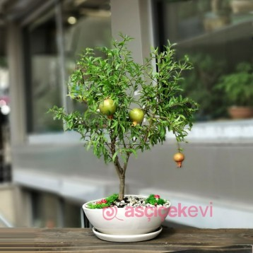 Süs Narı Bonsai Punica Granatum