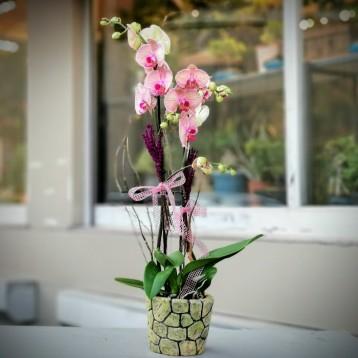 Golden Leopard Orkide