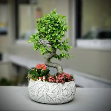 Bonsai ve Phitonia