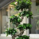 Ficus Ginseng Bonsai