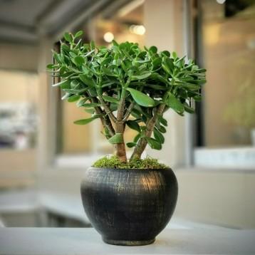 Crassula - Para Ağacı
