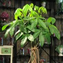 Pachira - Para Ağacı