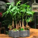 Para Ağacı Orman Bonsai