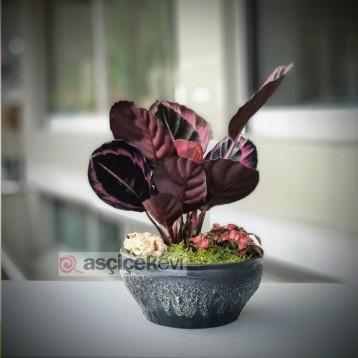 Dua Çiçeği - Calathea Roseopicta