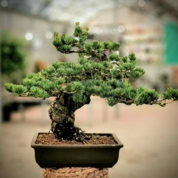 Pinus Parviflora-Çam Bonsai