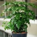 Radermachera Sinica - Mercan Ağacı