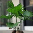 Livistona Bitkisi (Salon Palmiyesi)