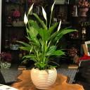 Barış Çiçeği - Spatifilyum