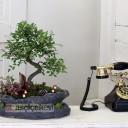 Dekoratif Saksıda Bonsai